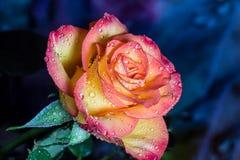Öppna rosa med daggsmå droppar Royaltyfri Fotografi