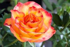 Öppna rosa med daggsmå droppar Royaltyfri Foto