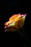 Öppna rosa med daggsmå droppar Royaltyfria Bilder