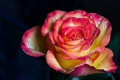 Öppna rosa med daggsmå droppar Arkivbild