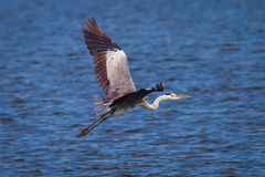 Öppna vingar av den gråa hägret Royaltyfri Fotografi