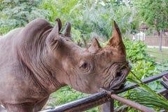 Öppna zoo, mata en noshörning Royaltyfri Fotografi