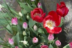 Öppnad röd tulpan Fotografering för Bildbyråer