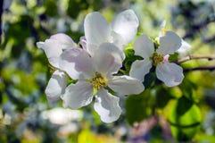 Öppnad vit blomstrar closeupen på en filial Royaltyfria Foton