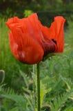 Öppnade kronblad för vallmoblomma röd halva arkivbild