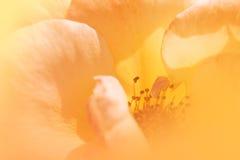 Öppnade rosor i mjuk färg royaltyfria bilder
