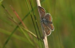 Öppnar nätta bruna en Argus fjärilsAricia agestis som vilar på en växtstam med dess vingar royaltyfri foto