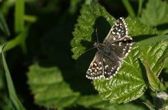 Öppnar nätta gråsprängda en skepparefjärilsPyrgus malvae som sätta sig på ett blad med dess vingar royaltyfria bilder