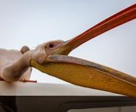Öppnar stora stis för en vit pelikan på taket av ett fartyg och hans M arkivbilder