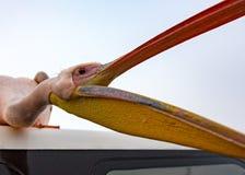 Öppnar stora stis för en vit pelikan på taket av ett fartyg och hans M royaltyfri foto