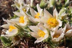 Öppning av den härliga vita silkeslena trädgården för blommapulsatillaalpina på våren arkivbilder