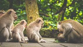 Öppningskokosnöt, Lång-tailed macaques, Macacafascicularis, i sakral apaskog, Ubud, Indonesien fotografering för bildbyråer