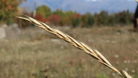 Öra av gräs i vinden lager videofilmer
