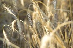 Öra av korn Arkivfoto