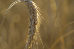 Öra av korn Fotografering för Bildbyråer