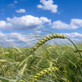 Öra av korn på fält royaltyfri fotografi