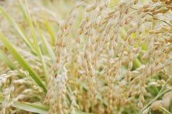 Öra av rice Royaltyfri Fotografi