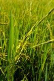 Öra av rice Royaltyfri Bild