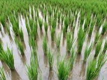 Öra av risfältbakgrund royaltyfria bilder
