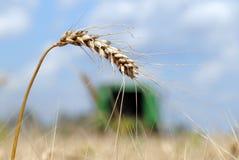 Örat av moget vete står i fältet i ett canicular soligt D Arkivbild