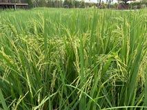 Örat av risfältbakgrund arkivbild
