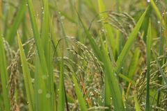 örat fields grön paddyrice vietnam Royaltyfri Foto