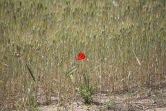 Öravetefält i vår Royaltyfri Foto