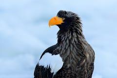 Örn för hav för ståendeSteller ` s, Haliaeetuspelagicus, fågel med vit snö, Hokkaido, Japan Plats för djurlivhandlinguppförande f Arkivbilder