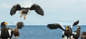 Örn för hav för Steller ` s i flykten arkivfoton