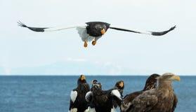 Örn för hav för Steller ` s i flykten fotografering för bildbyråer