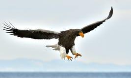 Örn för hav för vuxen människaSteller ` s i flykten Arkivfoto