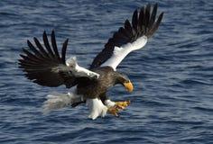 Örn för hav för vuxen människaSteller ` s i flykten fiske Royaltyfria Bilder