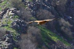 Örn i flyg Fotografering för Bildbyråer
