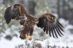 Örn i flyg fågeln ber Eagle landning Fotografering för Bildbyråer