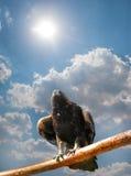 Örn mot skynen Fotografering för Bildbyråer