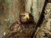 Örn på zooen Royaltyfri Foto
