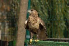 Örn på zooen Royaltyfri Fotografi