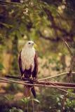 Örn som sitter på en filial fotografering för bildbyråer