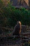 Örnen vilar på en stupad filial Royaltyfri Foto