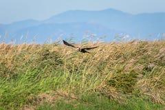 Örnjaga och flyg på lagun och den generiska vegetationen Den vuxna bruna örnen på jakten i naturligt parkerar av Albufera, royaltyfri fotografi