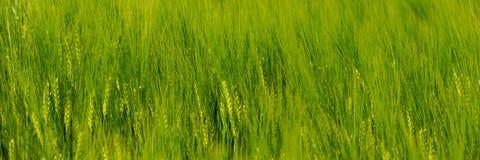 Öron av den unga gröna vetegungningen i vinden royaltyfria bilder