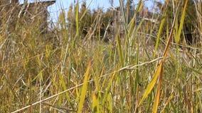 Öron av gräs i vinden arkivfilmer