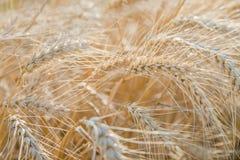 Öron av råg i fältet Fotografering för Bildbyråer