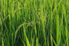 Öron av rice royaltyfria bilder
