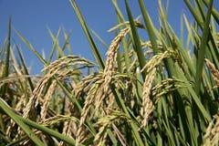 Öron av ris i risfältfält Arkivfoto