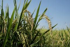 Öron av ris i risfältfält Royaltyfri Fotografi