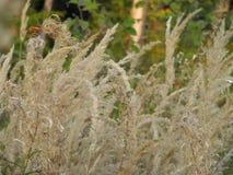 Öron av torrt gräs i fältet arkivbild