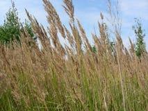 Öron av torrt gräs mot himlen Arkivfoto