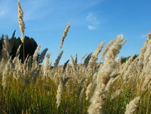 Öron av vete i skogen Fotografering för Bildbyråer