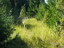 Öron av vete i skogen Royaltyfria Bilder